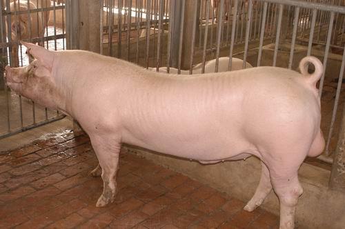 中央畜產會200705期L0170-07體型-全身相片