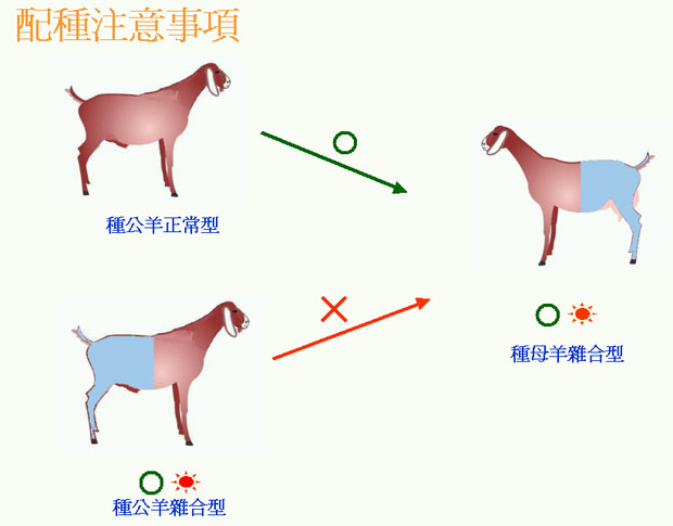 羊生長遲緩(黏多醣症)基因的檢測與遺傳圖示-2