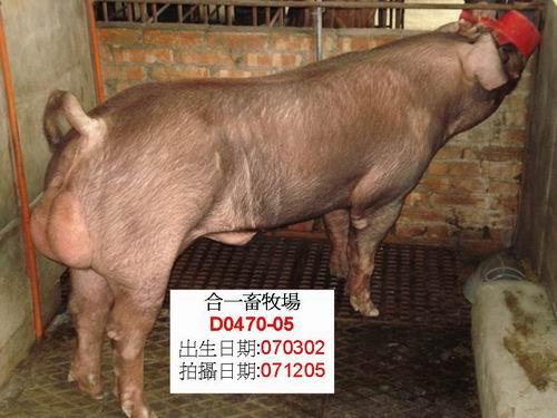 台灣種豬發展協會9608期D0470-05側面相片