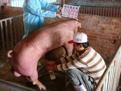 台灣種豬發展協會9608期D1580-05採精相片