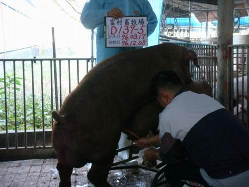 台灣種豬發展協會9608期D0139-05採精相片