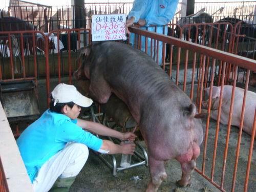 台灣種豬發展協會9608期D0436-02採精相片