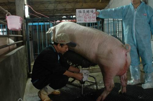 台灣種豬發展協會9608期L0156-01採精相片
