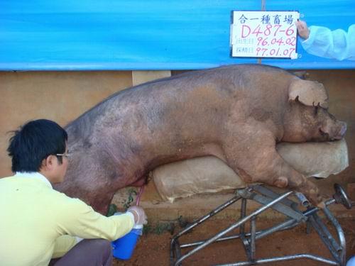 台灣種豬發展協會9701期D0487-06採精相片