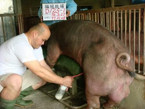 台灣種豬發展協會9701期D0125-01採精相片