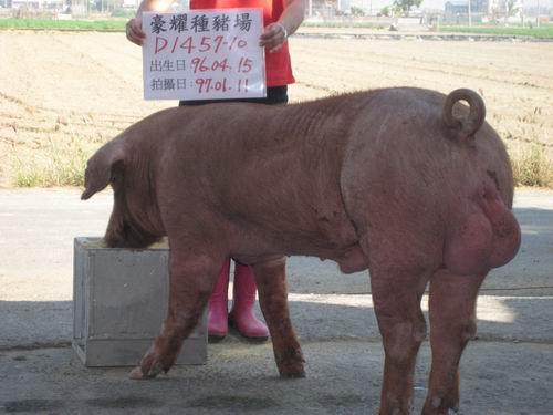 台灣種豬發展協會9701期D1457-10側面相片