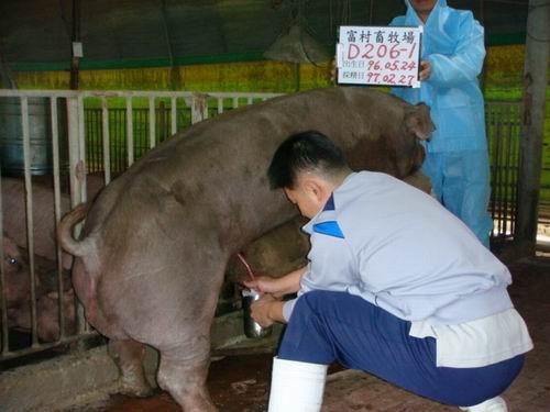 台灣種豬發展協會9702期D0206-01採精相片
