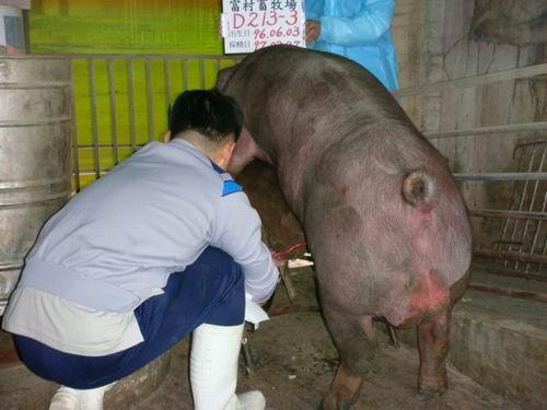台灣種豬發展協會9702期D0213-03採精相片