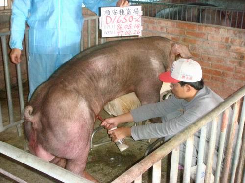台灣種豬發展協會9702期D1650-02採精相片