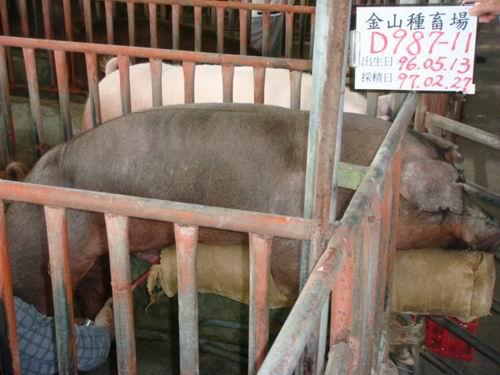 台灣種豬發展協會9702期D0987-11採精相片