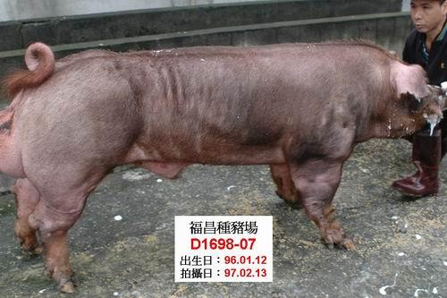台灣種豬發展協會9702期D1698-07側面相片