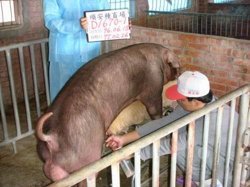 台灣種豬發展協會9702期D1670-01採精相片