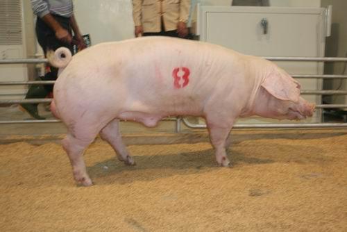 台灣種豬發展協會9702期L0920-11拍賣相片(高價豬)