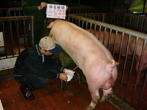 台灣種豬發展協會9702期L0204-06採精相片