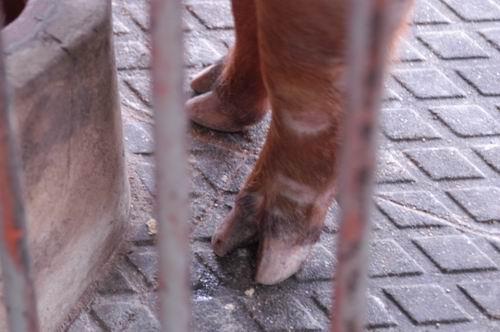 中央畜產會200709期D1316-01體型-四肢相片