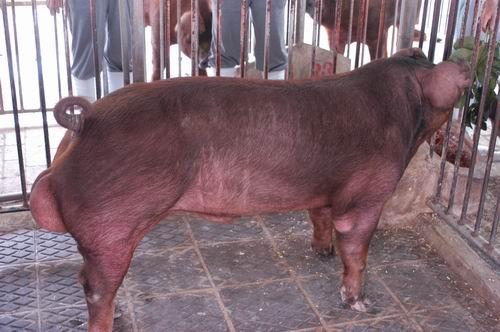 中央畜產會200709期D0613-01體型-全身相片