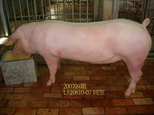 中央畜產會200709期L0610-07拍賣照片