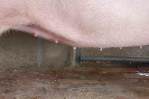 中央畜產會200709期L0605-10體型-性器外觀相片