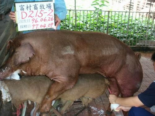 台灣種豬發展協會9703期0215-02D採精相片