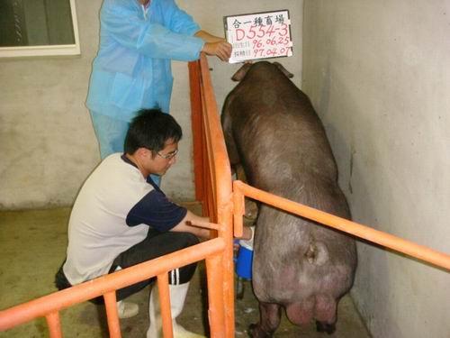 台灣種豬發展協會9703期D0554-03採精相片
