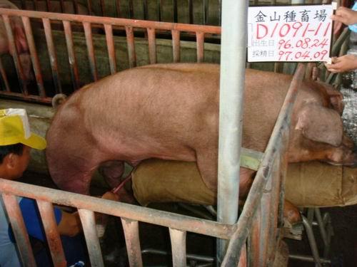 台灣種豬發展協會9703期D1091-11採精相片