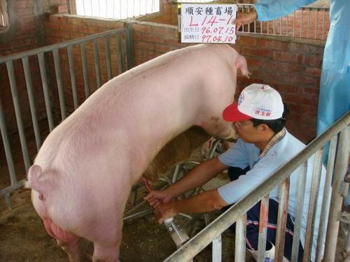 台灣種豬發展協會9703期L0014-01採精相片