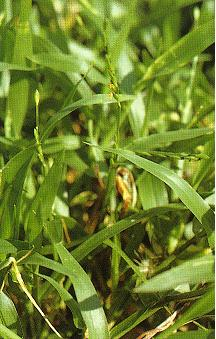 四生臂形草Brachiaria Subquadripara (Trin.) Hitchc.