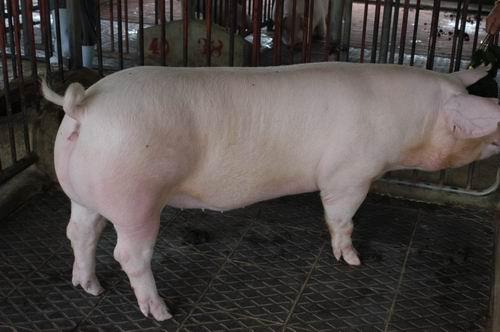 中央畜產會200710期L0634-13體型-全身相片