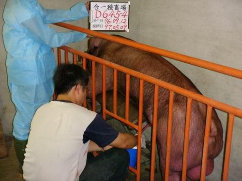 台灣種豬發展協會9704期D0645-04採精相片