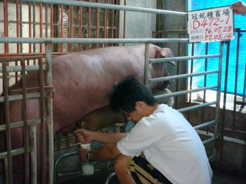 台灣種豬發展協會9704期D0472-01採精相片
