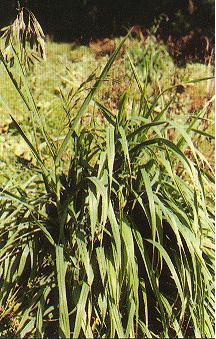 大扁雀稗Bromus catharticus Vahl.