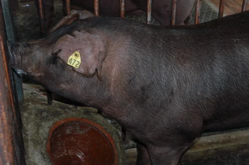 中央畜產會200711期D0225-14體型-頭頸相片