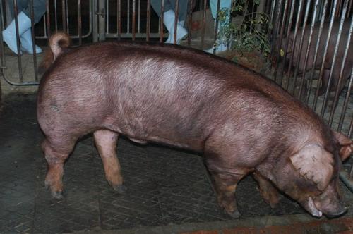 中央畜產會200711期D0258-01體型-全身相片