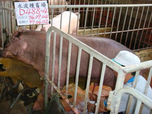 台灣種豬發展協會9705期D0488-04採精相片