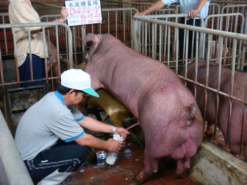 台灣種豬發展協會9705期D0494-09採精相片