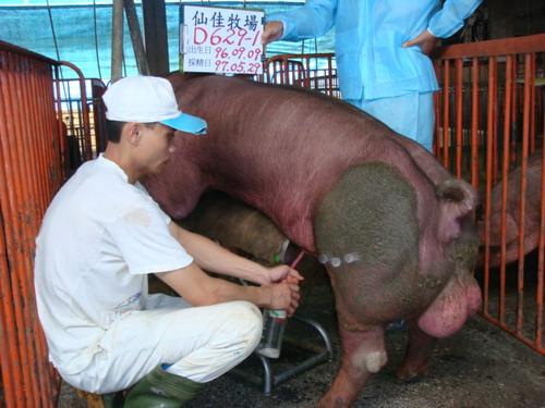 台灣種豬發展協會9705期D0629-01採精相片