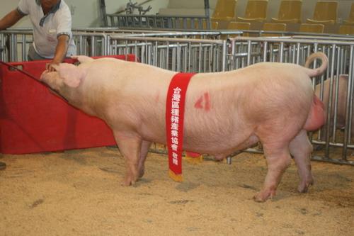 台灣種豬發展協會9705期L0475-09拍賣相片(高價豬)