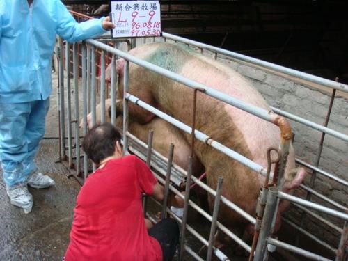 台灣種豬發展協會9705期L0009-09採精相片