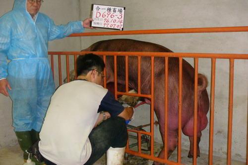 台灣種豬發展協會9706期D0696-03採精相片