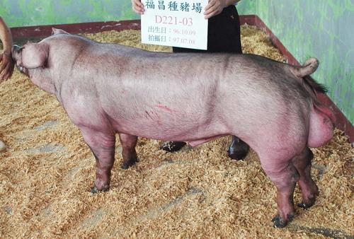 台灣種豬發展協會9706期D0221-03側面相片