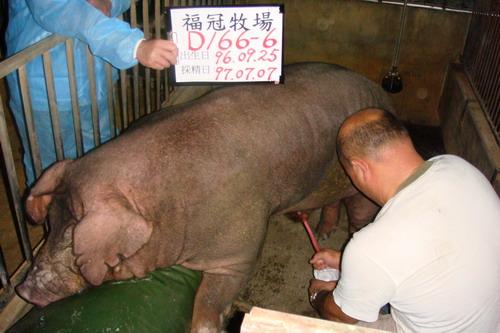 台灣種豬發展協會9706期D0166-06採精相片