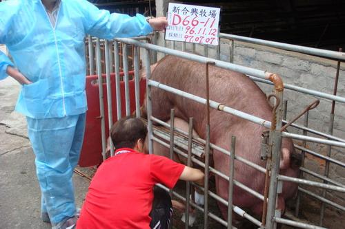 台灣種豬發展協會9706期D0066-11採精相片