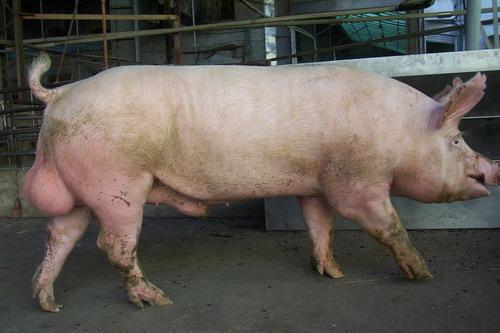 台灣種豬發展協會9706期Y1621-03側面相片