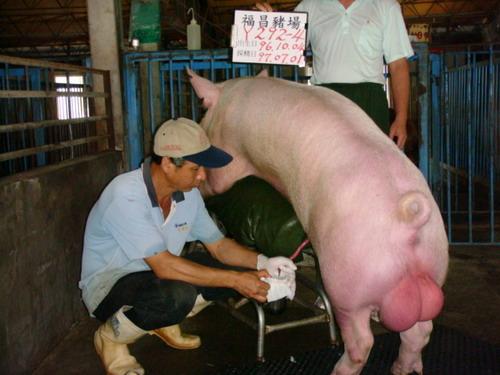 台灣種豬發展協會9706期Y0292-04採精相片