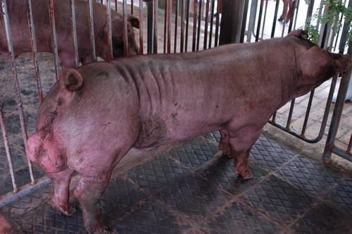中央畜產會200801期D1937-10體型-全身相片