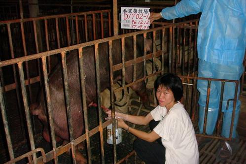 台灣種豬發展協會9707期D1702-01採精相片