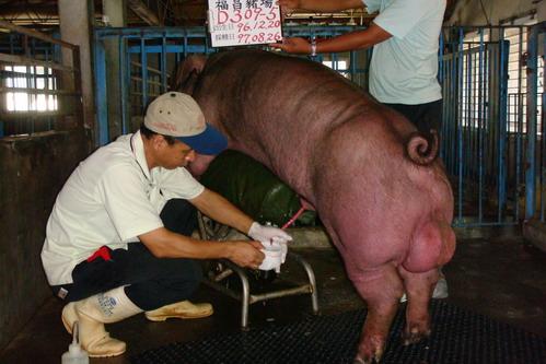 台灣種豬發展協會9707期D0309-05採精相片