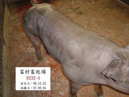 台灣種豬發展協會9707期D0232-04側面相片