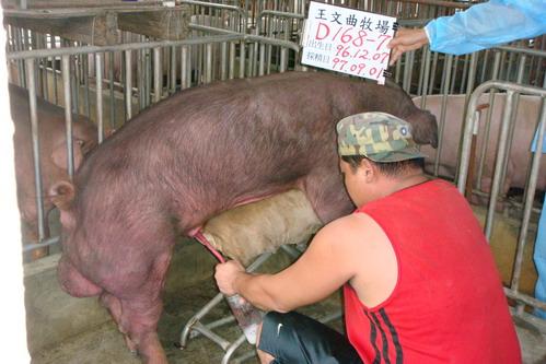 台灣種豬發展協會9707期D0168-07採精相片