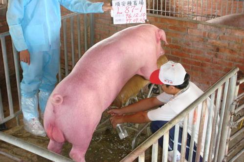 台灣種豬發展協會9707期L0087-01採精相片